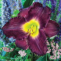 Ruffled Daylily Collection