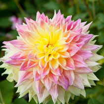 Xxl / Wow! Dahlias