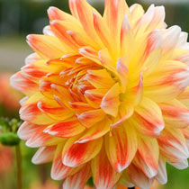 Peaches and Cream Dahlia