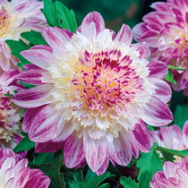 Powder Puff Dahlias