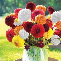 Giant Ball Dahlias