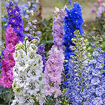 Millenium Delphinium Collection
