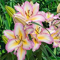 Captain Tricolore Lily