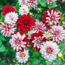Pacific Time Dahlia