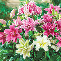 Pollen Free Lilies