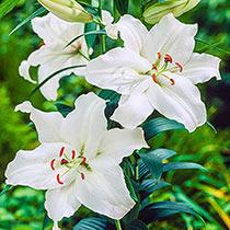 Gandhara Lily