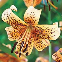 Tiger Babies Tiger Lily