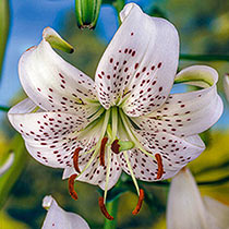 White Twinkle Tiger Lily