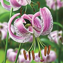 Lilium Lankongense Species Lily