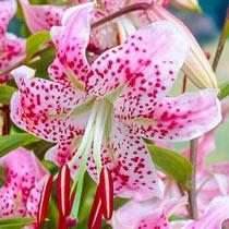 Lilium speciosum var rubrum 'Uchida'