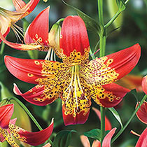 Species Lilies