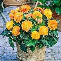 Apricot Nonstop® Begonia