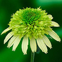 Honeydew Coneflower