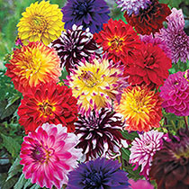 Summer to Frost Dahlia Mixture