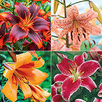 Summerlong Lily Collection