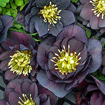 Dark And Handsome Hellebore