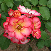 Betty Boop™ Floribunda Rose