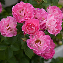 Cupid's Kisses™ Miniature Rose