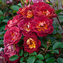 Hot & Sassy™ Miniature Rose