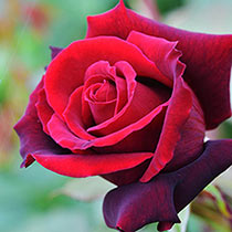 Lasting Love Hybrid Tea Rose