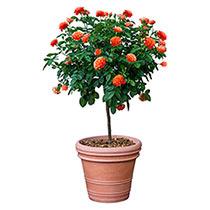 Livin' Easy™ Tree Rose