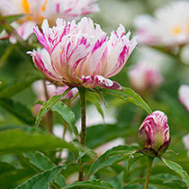 Twitterpated Peony