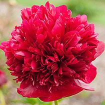 Red Grace Peony