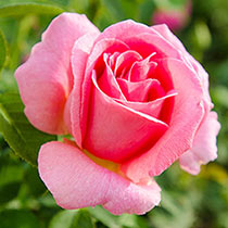 Tiffany Hybrid Tea Rose