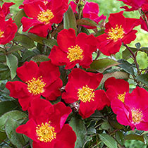 Top Gun™ Shrub Rose