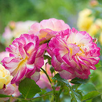 """Life of the Party™ 24"""" Patio Tree Rose"""
