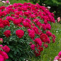 Red Sarah Bernhardt Peony