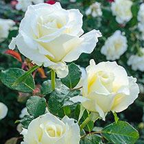 "White Licorice 24"" Patio Tree Rose"