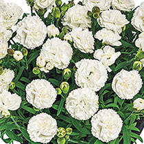 Fragrant Carnation Collection