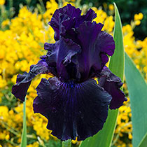 Twice as Nice Reblooming Iris Collection
