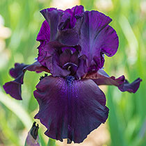 Superstition Bearded Iris
