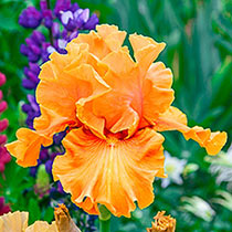 Golden Panther Bearded Iris