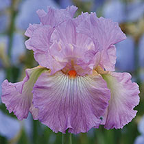 Destination Fabulous Bearded Iris