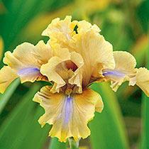 Bamboo Shadows Bearded Iris