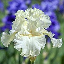 Boston Cream Iris