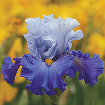 Cubs Win It Bearded Iris