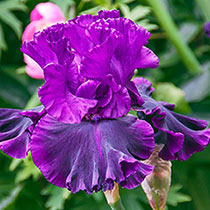 Fine Wine Bearded Iris