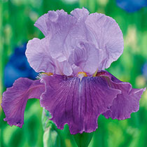 Flip Bearded Iris