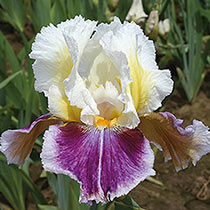 Dawn Eternal Bearded Iris