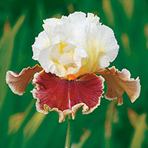 Lightheaded Bearded Iris