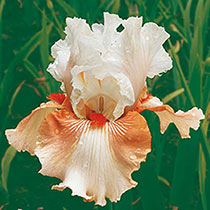 Padded Shoulders Bearded Iris