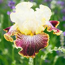 Phoebe's Frolic Bearded Iris
