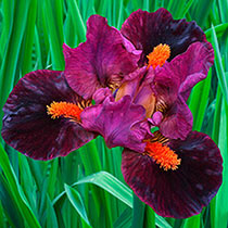 Outspoken Dwarf Bearded Iris