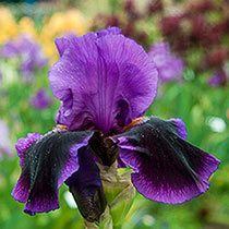 Pagan Dance Reblooming Bearded Iris