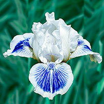 Big Blue Eyes Dwarf Bearded Iris