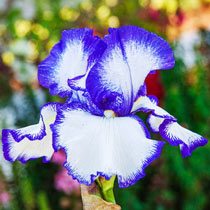 Presby's Crown Jewel Bearded Iris